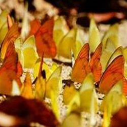 Butterfly farming for export